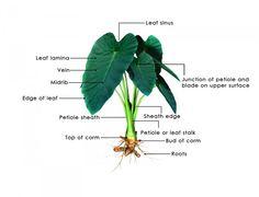 How to Grow Elephant Ears plant (Colocasia)