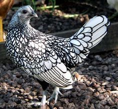 Unbelievable...all that is wonderous is found in nature. This is a Silver-Laced Sebright Bantam - Picture courtesy of Mark Robinson, UK. I googled this to be sure it was real!