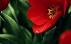 Fiore rosso, colori complementari