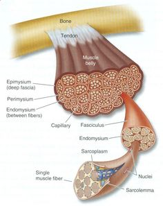 Diagram of muscle tissue. I love this. No wonder we are so strong! Look at all those fibers packed in there! I remember learning this in Anatomy and Physiology and nerding out :-)
