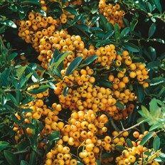 Pyracantha Golden Charmer Dobby, Pumpkin, Plants, Outdoor, Climbing, Garden Ideas, Yard, Cover, Naturaleza