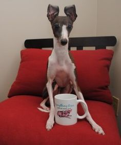 Coffee time! #ItalianGreyhound