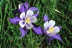 colorado flowers - columbine