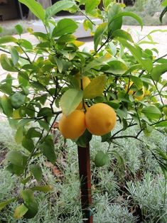 My potted lemon tree did fantastic this year! Definitely getting a meyer lemon tree next