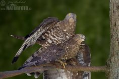 Honey Buzzard mating (Pernis apivorus)