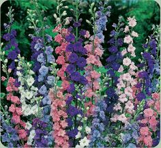 Picture of pretty WILD LARKSPUR, very easy to grow from seed. They look like Delphinium!!!