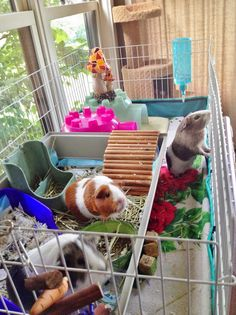Cleaning routine for guinea pig cage.
