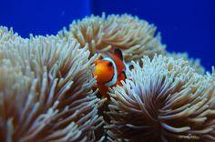 Clown Fish السمكة الوحيدة التي لاتتأذى من شقائق النعمان