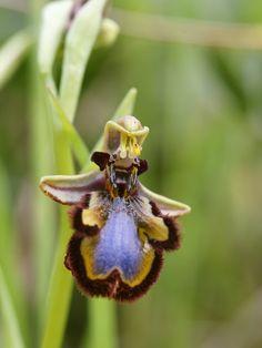 Bee Orchid - Orquídea abelha   + Plantas