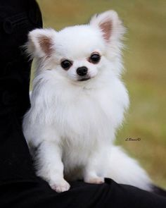 Chihuahua puppy looks like a frisky one, who will make a great companion. - Chihuahua puppy looks like a frisky one, who will make a great companion. Types Of Chihuahua, Chihuahua Love, Chihuahua Puppies, Cute Puppies, Dogs And Puppies, White Chihuahua, Cavapoo Puppies, Long Haired Chihuahua, Pet Dogs