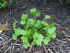 Plantbespreking: Winterpostelein (Claytonia perfoliata D. Herb Garden, Vegetable Garden, Green Magic, Wild Nature, Growing Herbs, Edible Garden, Natural Living, Permaculture, Bushcraft