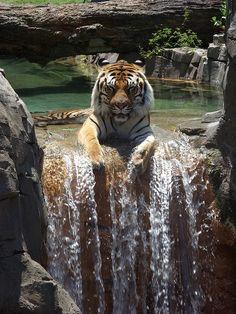 Tiger enjoying a waterfall