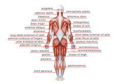 Vocabulary for MDs and NursesHuman being / Anatomy / Muscles: posterior view