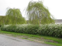 White Hedge    Googles billedresultat for http://www.planteskole-ringen.dk/upload_dir/pics/Haekplanter/Spirea%2520arguta.jpg