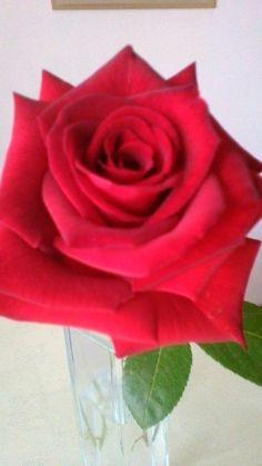 Nádherná růže Plants, Flowers, Plant, Planets