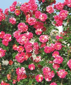 Another great find on #zulily! Live Candy Land Climber Rose Plant #zulilyfinds