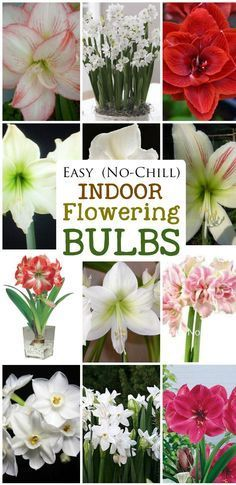 Easy-No-Chill-Indoor-Flowering-Bulbs- Would you like gorgeous flowers like these ones on your holiday table? The bulbs you see here are simple to grow and do not require any pre-chilling. If you've got a spot with bright sunlight for the growing. Garden Bulbs, Planting Bulbs, Garden Plants, Planting Flowers, Glass Garden, Indoor Flowers, Bulb Flowers, Indoor Plants, Winter Plants