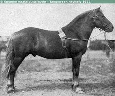 Finnhorse stallion Rasin-Könni, born 1910