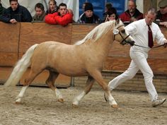 palomino welsh pony. We had all colors.  Once we had Pony Judge from Wales with us to judge our show---quite interesting.