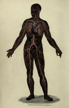 Arteries and veins of the adult body.    Wonders of the Human Body.A. Le Pileur, 1871.