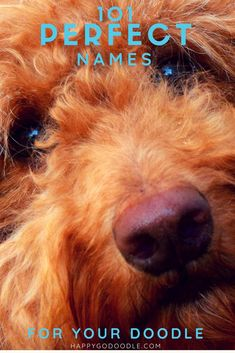 Searching for the just-right name for your adorable doodle? Check out this list of 101 perfect names for goldendoodles, labradoodles, and all oodle dogs. Naming your dog is one of the most fun and lasting decisions you'll make! What ever you decide, you' Red Labradoodle, Goldendoodle Names, Mini Goldendoodle Puppies, Goldendoodles, Labradoodles, Puppies Names Female, Female Dog Names, Puppy Names, Dogs Names List
