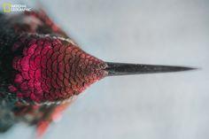Le plumage irisé d'un colibri.   15 photos de National Geographic à vous couper le souffle