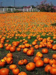A field of bright orange pumpkins.
