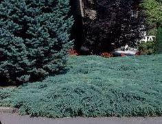 Resultado de imagen de juniperus squamata blue star Juniperus Squamata, Stepping Stones, Stars, Outdoor Decor, Blue, Home Decor, Gardens, Stair Risers, Decoration Home