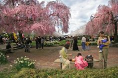 Subaru Cherry Blossom Festival  (Photo courtesy Japan America Society of Greater Philadelphia) Cherry Blossom Season, Cherry Blossoms, Visit Philly, Philly Pa, Marquee Events, Japanese Tea House, Japanese Style, Big Spring, Blooming Plants