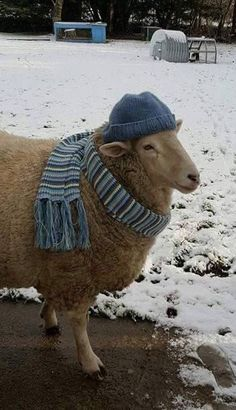 "Bella donned her best hat and scarf · Published in Nov. 2010 ""The Herdy Company Craft Knitting"" by Janice Anderson. Suggested yarn: Rowan Purelife British Sheep Breeds Chunky Yarn. Farm Animals, Animals And Pets, Funny Animals, Cute Animals, Wooly Bully, Baa Baa Black Sheep, Sheep And Lamb, Tier Fotos, Sheep Wool"