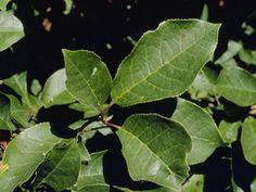Prunus virginiana (Chokecherry)