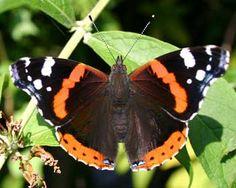 vlinders  nederland community google nederlandse