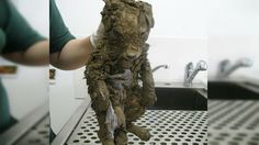 A Mysterious Animal Found In Mud Couldn�t Be Identified Until They Cleaned Him !