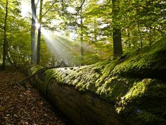 Beech Forests in the Spessart Mountains. Beech forests and mixed beech forests in public forest in the Spessart Mountains. Autumn leaves and deadwood on the forest floor. Sunshine streaming through the branches. Photographer: Michael Kunkel / Greenpeace