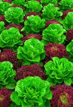 Red and green leaf lettuce.