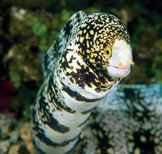 Snowflake Eel - Snake or Ray Charles