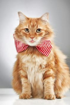 Cat with bowties