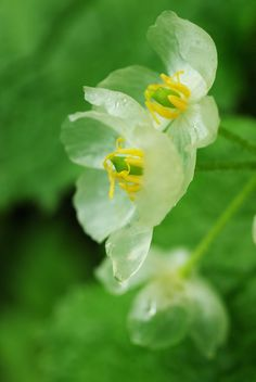 """The Diphylleia grayi is an extraordinary flower with white petals that turn beautifully transparent upon contact with water. During light rain showers, the delicate blooms transform into blossoms as clear as glass, fitting its common moniker """"skeleton flower."""""""