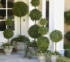 Live Ivy Ball Topiary on Stem