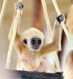 gibbon. I must have this monkey by june 13th, or fire from heaven will rain down....