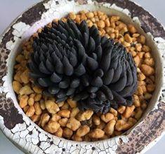 Black Succulents, Growing Succulents, Succulent Pots, Cacti And Succulents, Planting Succulents, Plant Pots, Weird Plants, Rare Plants, Cool Plants