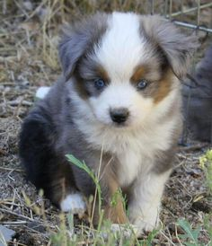 blue merle miniature aussie TThis puppy looks just like