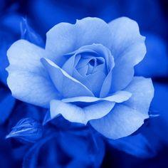 Rosen in Blau / Roses in Blue
