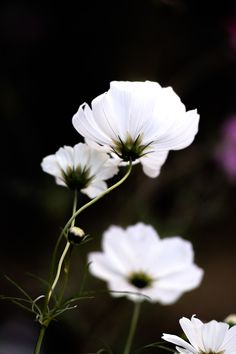 White cosmos.  I've taken and developed so that the dark background.  Off-season just around the corner?