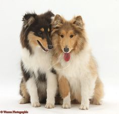 Tri and Sable Rough Collies