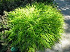 Golden Forest Grass For Impact Ornamental Grasses For Shade, Rockery Garden, Shade Grass, Botanical Gardens, Herbs, Landscape, Rotary, Outdoors, Blog