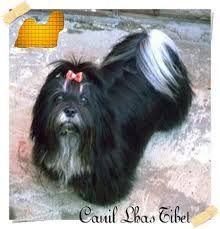 Resultado de imagem para lhasa preto Dog Haircuts, Lhasa Apso, Pup, Dogs, Animals, Ideas, Animales, Animaux, Doggies