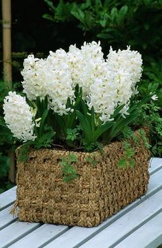 Basket On Table Planted With 'Carnegie' Hyacinths. Keukenhof Gardens, Holland  Clivenichols.Com