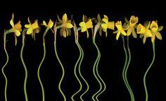 Pat Pilchard |  Daffodils