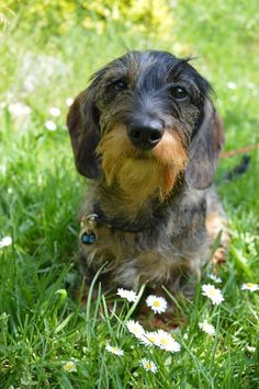 Isn't this Dachshund adorable sitting on the grass with white wild flowers? Dachshund Breed, Wire Haired Dachshund, Dachshund Love, Daschund, I Love Dogs, Cute Dogs, Dog Grooming Shop, Clever Dog, Scottish Terrier